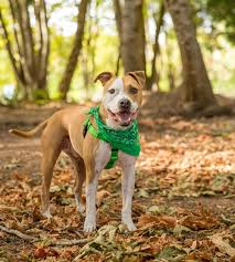 american pit bull terrier life expectancy spotlight on american pit bull terrier u2014 spot magazine