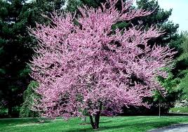 brightest colored trees for fast growing trees