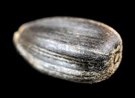 sunflower seed close up on black background stock photo colourbox