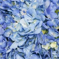 wholesale hydrangeas aquamarine blue airbrushed hydrangea flowers collection