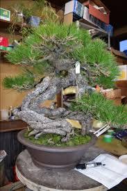1255 best bonsai to you images on pinterest bonsai trees bonsai