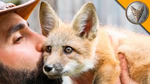 friendly baby fox youtube