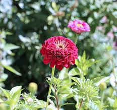 red zinnia flower in the garden stock image image 59421019