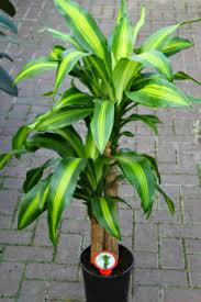 dracaena fragrans dragon tree great houseplant a perfect