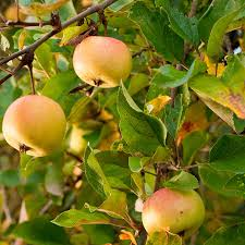 Transplant Fruit Trees - low chill anna apple tree fast growing trees com