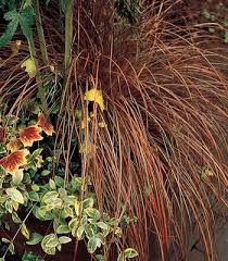 65 best plants ornamental grasses images on gardening