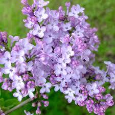 Shrub With Fragrant Purple Flowers - fragrant purple lilac lilacs stark bro u0027s