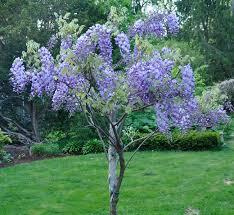 best 25 wisteria tree ideas on wisteria wysteria
