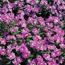 vinca flowers vinca annuals garden plants flowers the home depot