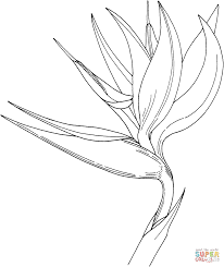 bird of paradise strelitzia reginae coloring page free