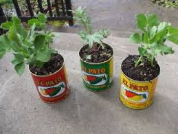 Container Gardening Peas - recycle your tin cans into mini planters craftstylish