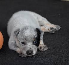 australian shepherd yorkie puppies yorkie poo puppies u2013 dog breed information u0026 pictures