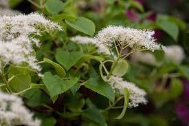 hydrangea anomala subsp petiolaris gardenersworld com
