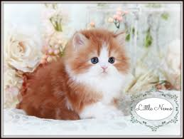 red u0026 white bi color teacup persian kitten cute kitten