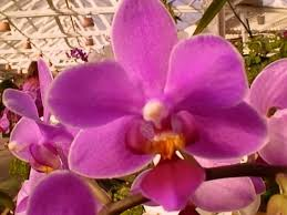 Flower Of Orchid - orchid plants how to grow and care for orchids the queen of