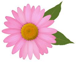 margarita clipart pink daisy png clipart image gallery yopriceville high