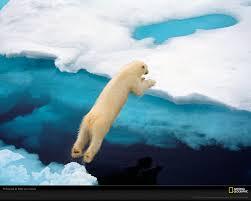 fun facts about polar bears endangered polar bear