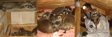 How To Get Rid Of A Skunk In Your Backyard Raccoons In The Attic Guide To Humane Raccoon Removal