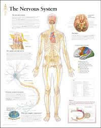 Anatomy And Physiology Of The Brain Avichal U0027s Blog Nervous System त त र क त त र