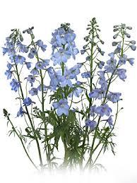 delphinium flowers san diego wholesale flowers florist bouquets light blue delphinium