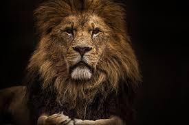 lion photography small lion print wildlife africa safari