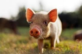 Welfare campaigners have objected to Foston, where pigs would spend their entire lives indoors