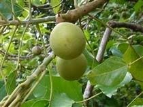 kukui nut kukui nut organic your craft supplier
