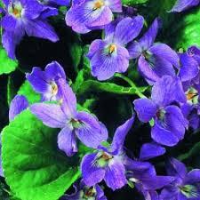 fiori viola giardino fiori viola mammola bavicchi