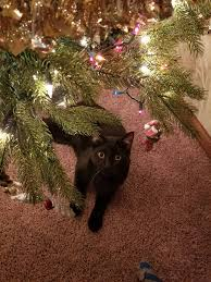 Cat Climbing Christmas Tree Video Our Newest Family Member Enjoying His First Christmas Tree Meet
