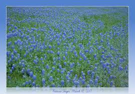 texas bluebonnets march 18 2017