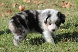 australian shepherd puppies near me view ad miniature australian shepherd puppy for sale texas