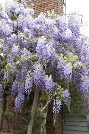 wisteria sinensis australian bush flower 282 best wisteria images on pinterest wisteria garden and nature