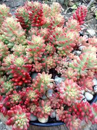 sedum rubrinctum var rosea pink jelly bean succulents