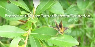 native manitoba plants help save the poweshiek skipperling from extinction university