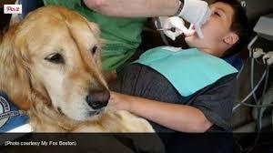 Comfort Golden Golden Retriever Comfort Dog At Dentist U0027s Office I Love My