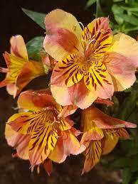 peruvian lilies alstroemeria inca or peruvian steemit