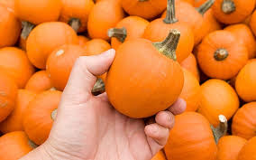 small pumpkins unseasonal weather means pumpkins could be smaller