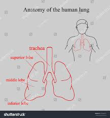 human respiratory system anatomy images learn human anatomy image