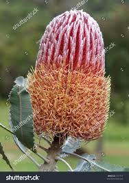 native australian flowering plants banksia menzies native australian flower stock photo 1517777
