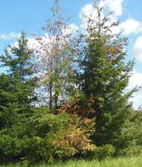 effects of drought continue in valley treetopics