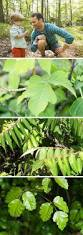 best 25 sumac rash ideas on pinterest poison oak leaves poison