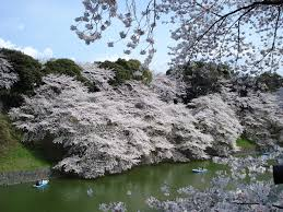 cherry blossom wikipedia