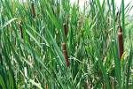Image result for Typha latifolia