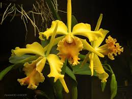 yellow orchids yellow orchids by desmo100 on deviantart