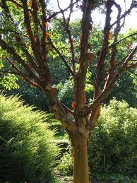 Tree For Home Decoration Outdoor U0026 Garden Pretty Paperbark Maple Tree For Home Landscaping