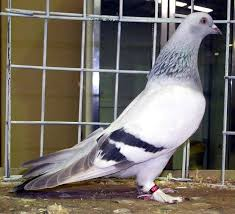 65 best fancy pigeons images on tumbler pigeons
