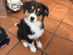 australian shepherd dog puppies da ist was im busch australian shepherd puppy bernese mountain