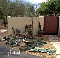 a new cactus cutting finds a home ramblings from a desert garden