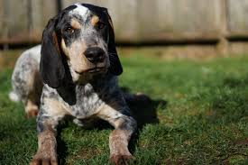 bluetick coonhound smokey the bluetick coonhound will howl its way into your heart vetiq