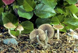 psilocybe mushrooms fungi com